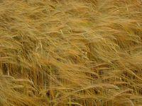 I think it's wheat