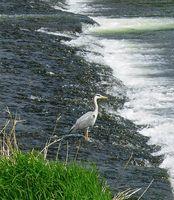 Heron on the Tweed, Peebles, May 08
